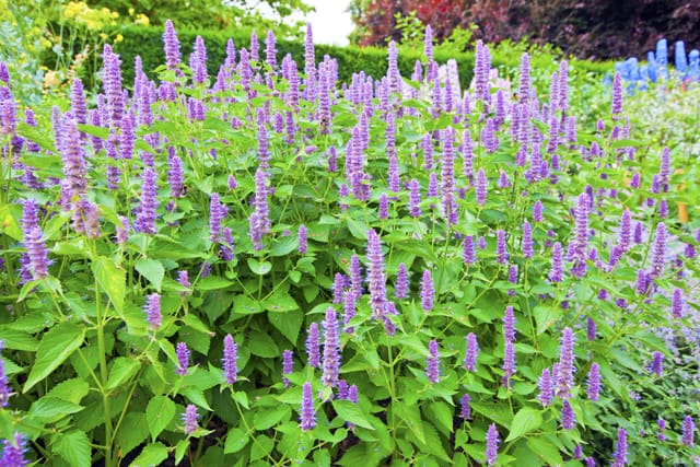 Agastache 'Blue Fortune' (Blue Fortune Anise Hyssop) in a garden.