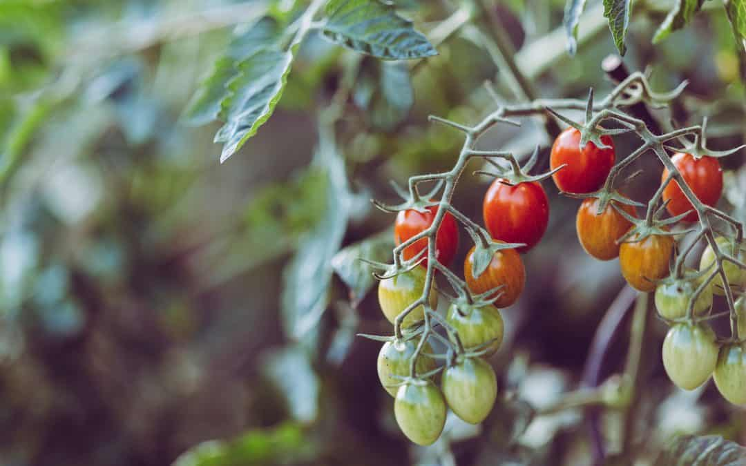 10 Tips On Growing Tomatoes Without Disease