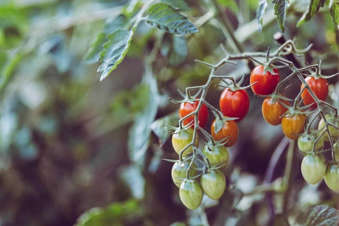 growing tomatoes disease-free