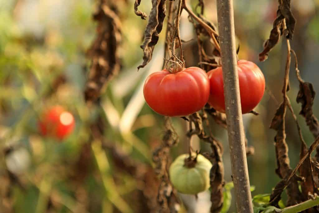 growing tomatoes without disease requires regular watering