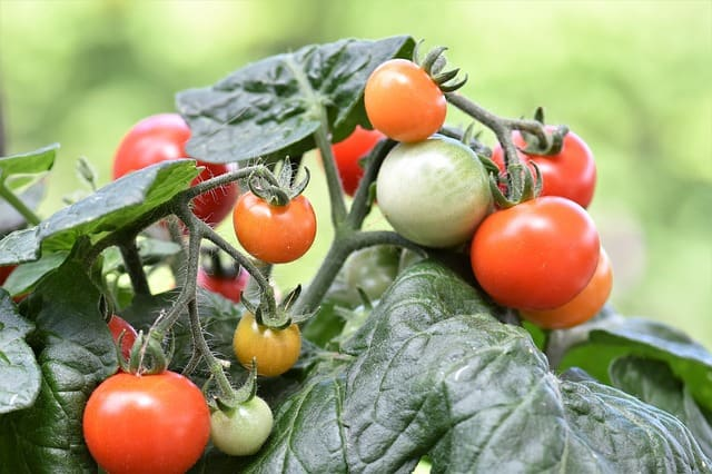 learn to prune if you like to know more about how to grow tomatoes