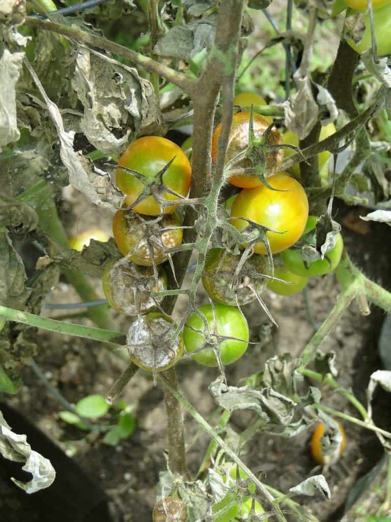 defects and spots on tomato leaves must not be disregarded